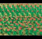 H0 5116 Asters, red